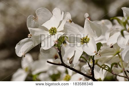 Several dogwood flowers in the sun with small shadows