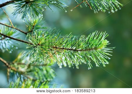 Branch of pine-tree with rain drops on needles on blurred background.