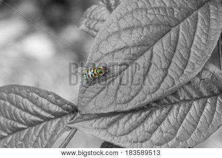 Close-up of a Bee. Bee on a green Leave. Insects in Spring. A little Bee sits on a big Leave. Monochrome Nature