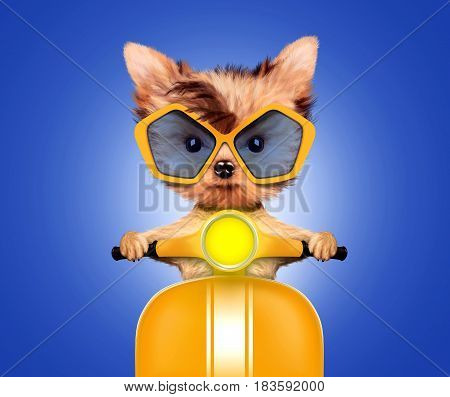 Funny adorable puppy sitting on a yellow motorbike and wearing sunglasses, isolated on white. Delivery concept. Realistic illustration of yorkshire terrier with clipping path