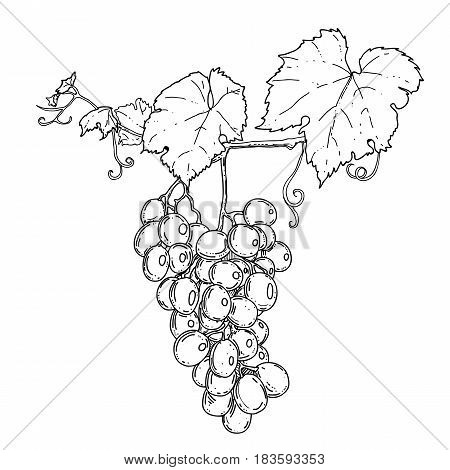 hand drawn graphic illustration of grape on the branch on white background. vector eps 8.