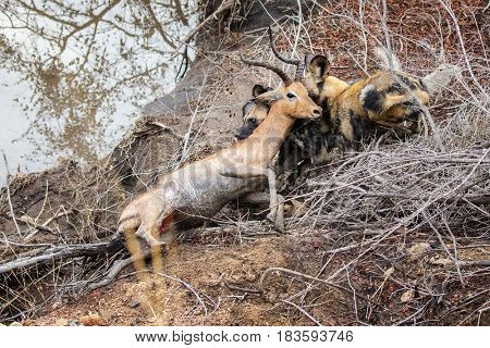 A pack of African wild dogs take down a young male impala. Kruger National Park, South Africa.