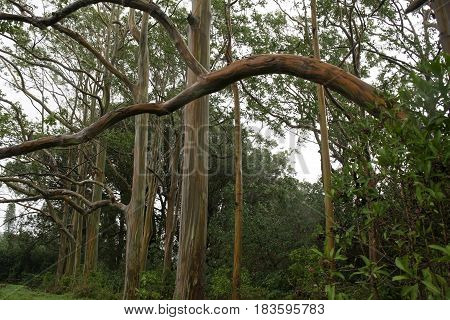 Colorful Rainbow Eucalyptus Trees in Hana highway Maui, Hawaii, USA