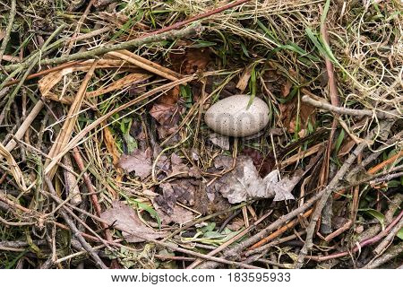 Coot (Fulica atra) egg and nest. Single speckled egg in nest made of sticks lined with grass and leaves of bird in the family Rallidae