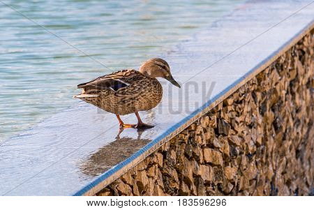Female mallard standing on edge of artificial pond by sunny day. One bird Anas platyrhynchos
