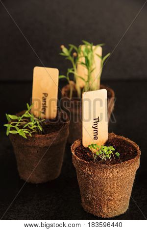 Peat pots of seedlings on a black background. PARSLEY THYME CILANTRO. THE STYLISH WOODEN PLANT LABELS