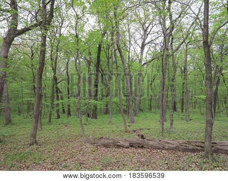 Grove of oak trees in spring with various shades of green at Starved Rock State Park