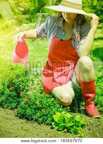 Gardening. Woman in hat red apron working in her backyard garden watering plants flowerbeds outdoor