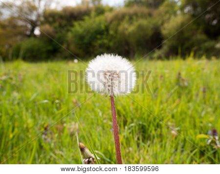 A Gorgeous White Dandelion In A Meadow Of Grass In A Forest