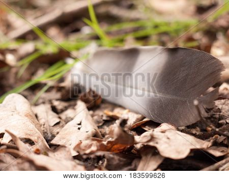 A Close Of A Magpie Feather On The Ground With Dead Leaves And Detail