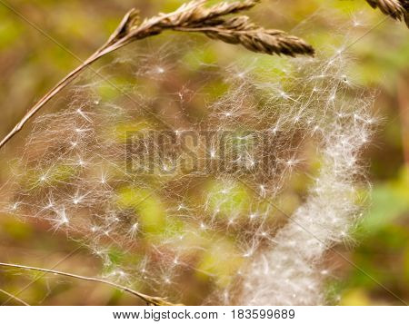 A Close Up And Screen Covering Shot Of A Spiders Web With Many Dispersed Dandelion Heads In It