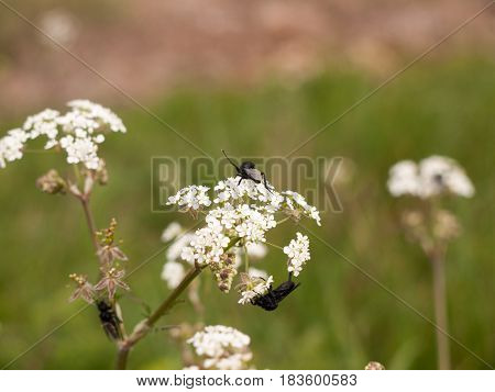 A Bunch Of Black Flies Three Resting On Some Cow Parsley