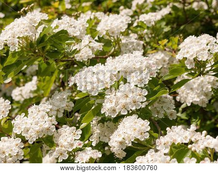 Sweet And Fragrant Shining White Flower Heads On A Tree