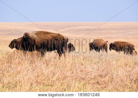 Herd of Buffalo roaming grasslands at the Tallgrass Prairie taken on the Kansas Plains