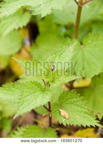 A Yellow And Black Ladybird Upon A Plant Leaf Outside In The Forest In Spring In Garden