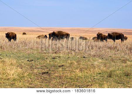 Herd of Buffalo roaming rural grasslands taken at the Tallgrass Prairie on the Kansas Plains