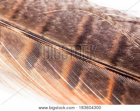 Close Up Of Pheasant Feather Detail And Colour On White Background