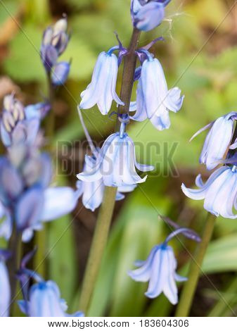 A Close Up Of A Bluebell In Spring Swaying In The Heat Of Sunset Haze