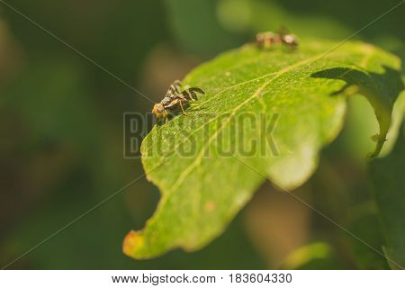 A fruit fly with colourful eyes resting on leaf. The bokeh of an ant is in the background.