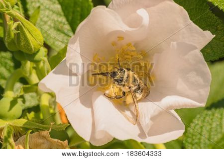 Bumble bee covered in pollen harvesting a rose.