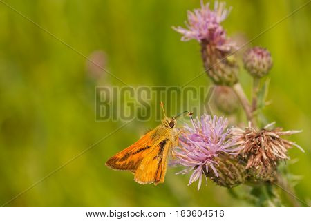 Macro of a woodland skipper drinking from a purple thistle flower.