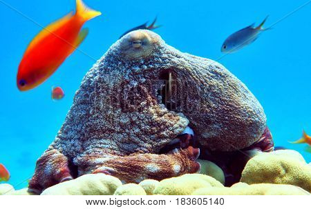 Big Octopus In Red Sea