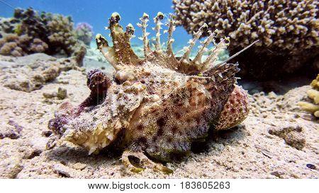 Scorpion Fish In Red Sea