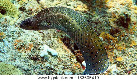 Moray Fish In Red Sea