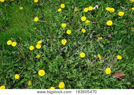 Common dandelions (Taraxacum officinale) bloom in the lawn at the Concord Plaza in Bolingrook, Illinois during April.