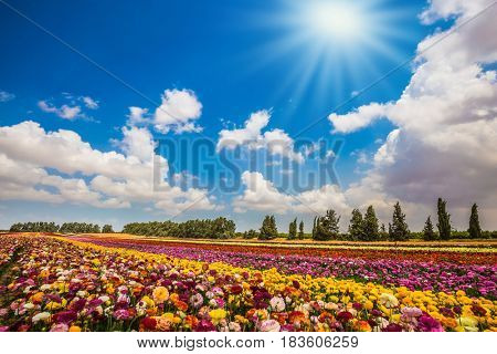 The concept of modern agriculture and industrial floriculture. Magnificent flowering garden buttercups. Kibbutz field. Spring in Israel