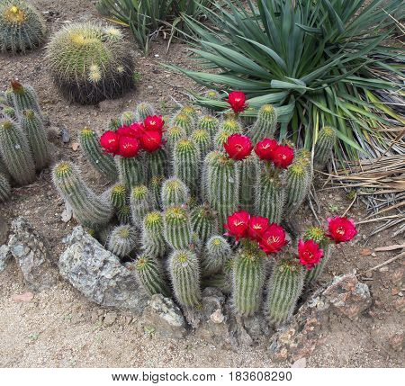 Red Torch Cactus (Echinopsis huascha) blooming. Spring time.