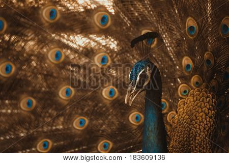 A Beautiful Male Peacock With Expanded Feather, Animal Background.  Vintage Tone With Vignetting.