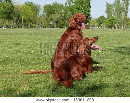 Portrait of two Irish setter dogs.Selective focus