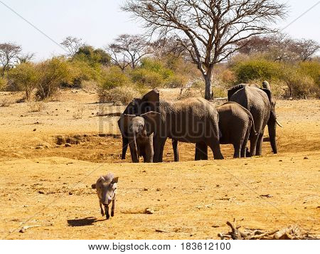 Elephant family at waterhole in South Africa