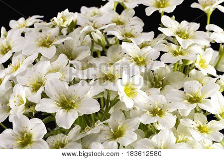Spring flowers of white Saxifraga paniculata on black background close up
