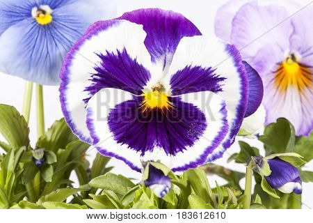 Flowers of multicolor garden pansy on white background close up