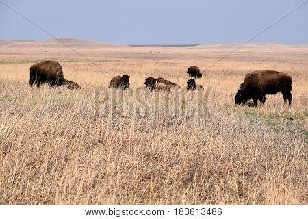 Buffalo roaming the vast rural grasslands taken at the Tallgrass Prairie National Preserve on the Kansas Plains