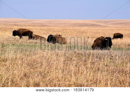 Buffalo roaming rural grasslands taken at the Tallgrass Prairie National Preserve on the Kansas Plains
