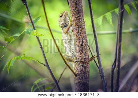 A beautiful Indian Chameleon Climb Up on a Tree.