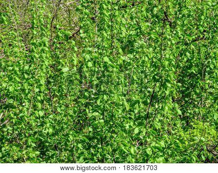Fresh Elm tree leaves background in springtime