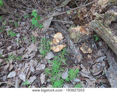 Wild Mushrooms in spring along trail at Starved Rock State Park