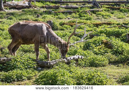 The deer wore a fresh green gauntlet. Red deer close up image of a large deer