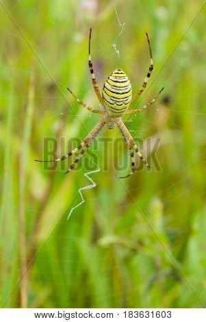 Yellow-black spider on a web in a summer field.
