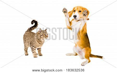 Funny beagle dog, standing on hind legs and cat, isolated on white background