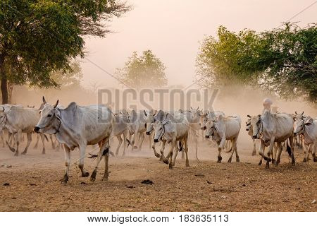 Cows Coming Home On Dusty Road At Sunset