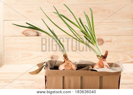 onions growing in box on rustic wooden background. growing vegetables concept