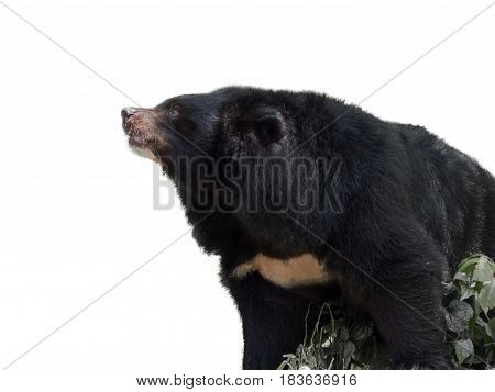 big asiatic black bear on white background