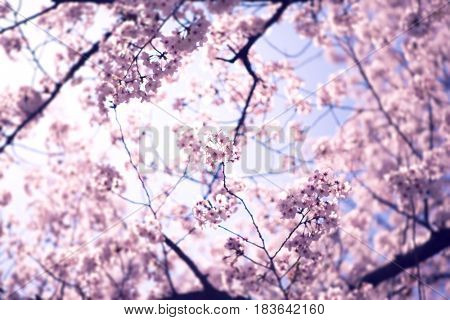 Cherry blossoms above, in full bloom. Muted impression style tone. shallow depth of field.