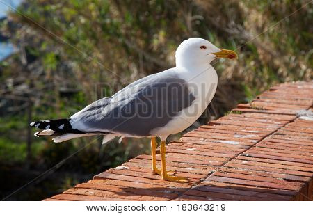 seagull portrait by the sea
