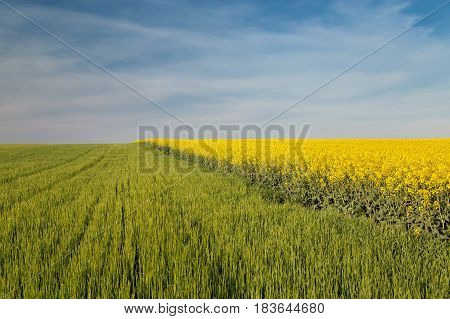 Rapeseed field in a clear, sunny day